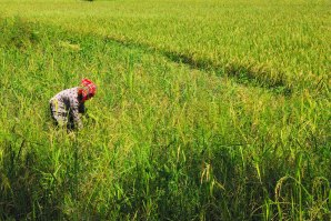 Rice harvest - a backbreaking activity