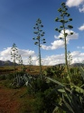 Impressively large Agave plants