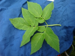 close-up: leaf of the ground elder
