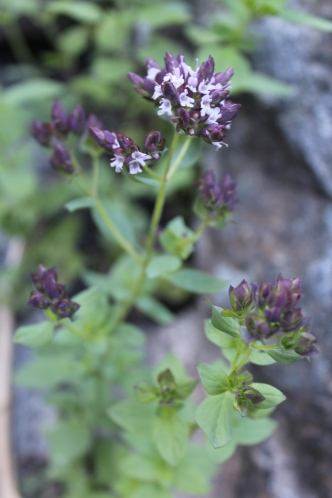 oregano in bloom