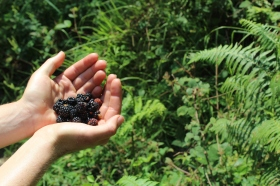 what a treat: wild blackberries!