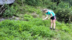 collecting stinging netttle - if you know how to handle them you don't need gloves!