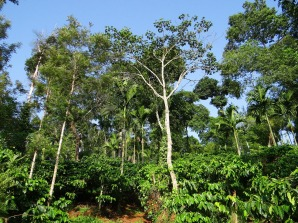 traditional coffee cultivation