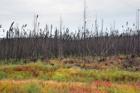 Young, burnt forest